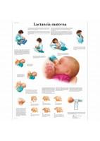 LACTANCIA MATERNA (VR-3557)