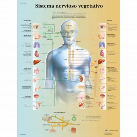 SISTEMA NERVIOSO VEGETATIVO (VR-3610)