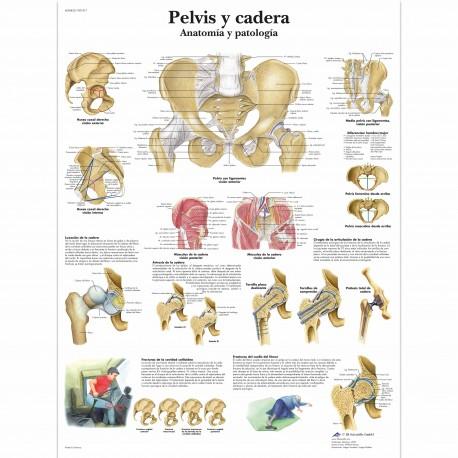 PELVIS Y CADERA (VR-3172)