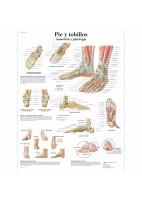 PIE Y TOBILLOS (VR-3176)