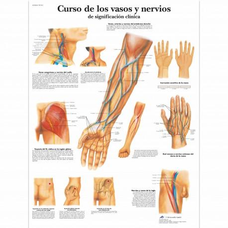 CURSO DE LOS VASOS Y NERVIOS (VR-3359)